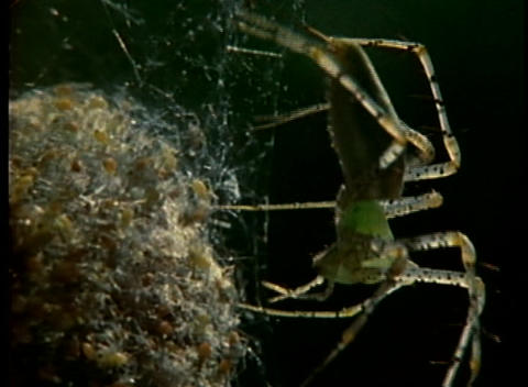 A spider tends to its egg sac Stock Video Footage