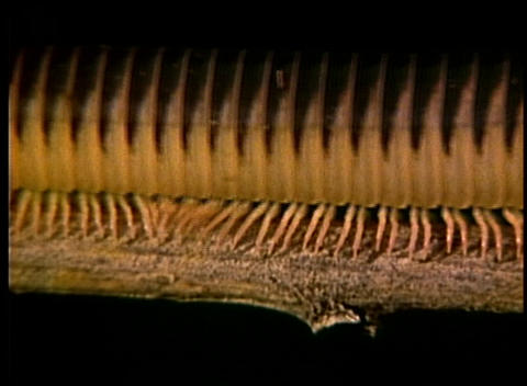 A millipede crawls along a tree branch, Live Action