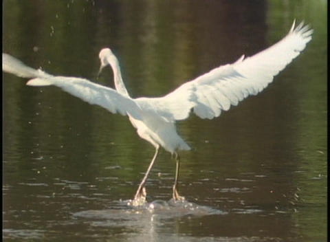 A large crane flies above the surface of a lake Stock Video Footage