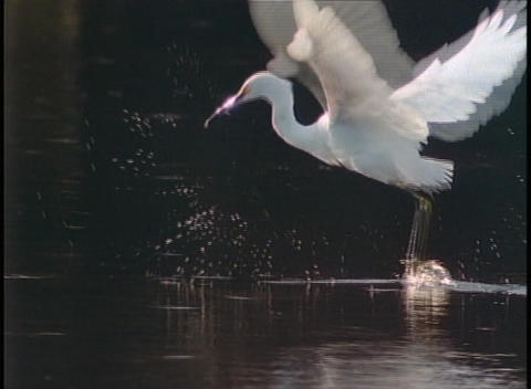 A large crane flies above the surface of a lake Footage