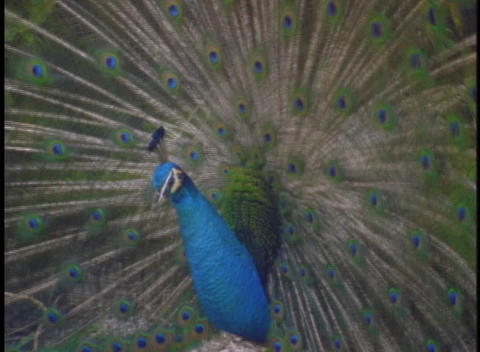 A peacock displays its large feathers Stock Video Footage
