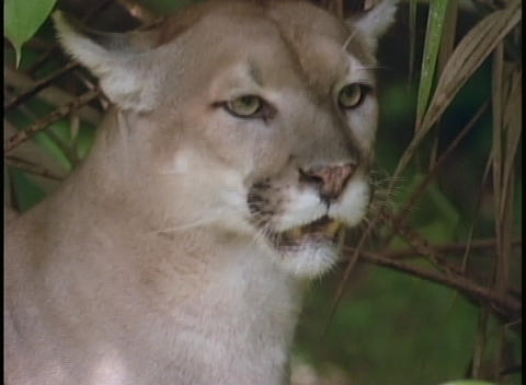 A mountain lion sits in the shade of a tree Stock Video Footage
