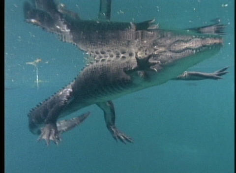 A crocodile floats on the surface of water then swims away Stock Video Footage