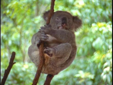 A koala bear holds onto a tree branch Stock Video Footage