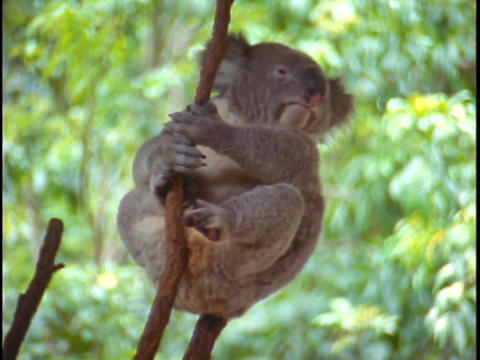 A koala bear holds onto a tree branch Stock Video Footage