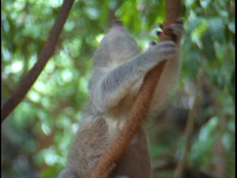 A koala bear climbs up a tree branch Footage