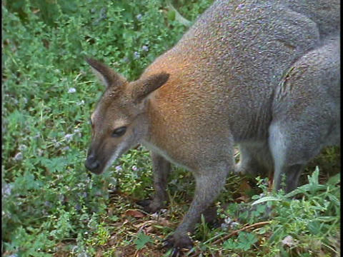 A red necked wallaby hunches down in the weeds Stock Video Footage