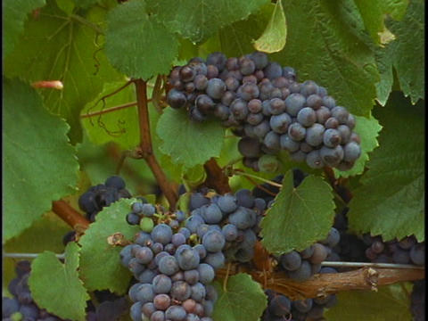 A bunch of grapes hang on a vine at a vineyard Footage