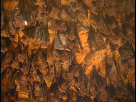 Bats hang in a cave in Bali Footage