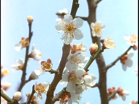 Cherry blossoms are in bloom in Tokyo, Japan Stock Video Footage