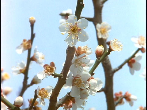 Cherry blossoms are in bloom in Tokyo, Japan Footage