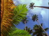 Palm fronds and palm trees wave in the wind against a blue sky Footage