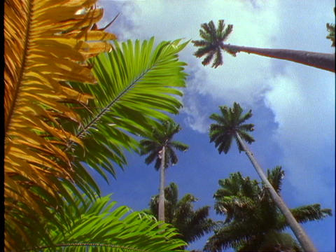 Palm fronds and palm trees wave in the wind against a... Stock Video Footage