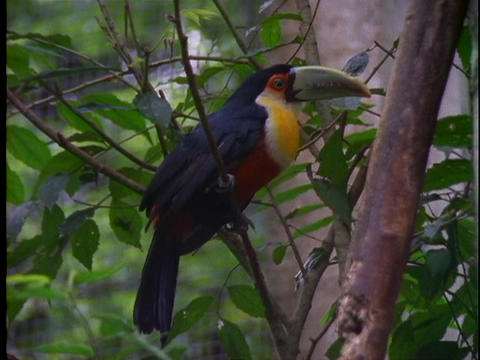 A toucan perches on a branch in the Amazon jungle Stock Video Footage