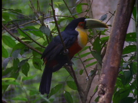 A toucan perches on a branch in the Amazon jungle Footage