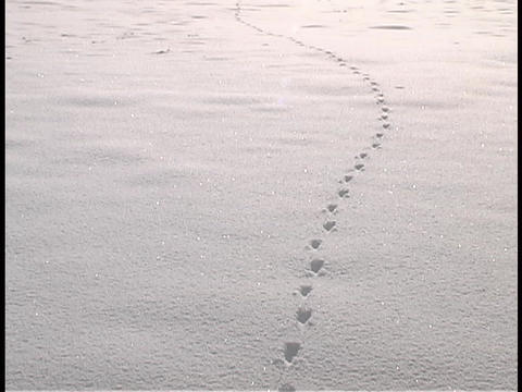 Animal tracks form a line in the snow Stock Video Footage