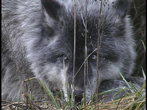 A gray wolf rests in a grassy field Live Action