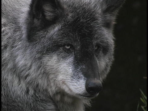 A gray wolf rests and watches on a forest ledge Stock Video Footage