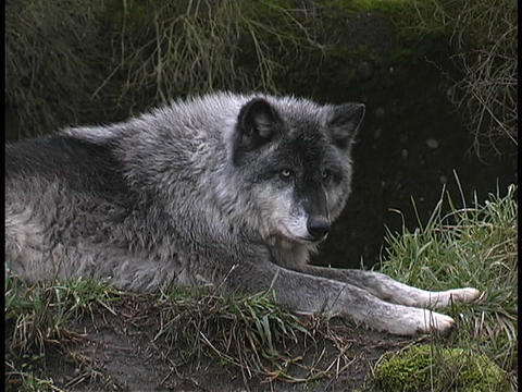 A gray wolf rests and watches on a forest ledge Live Action