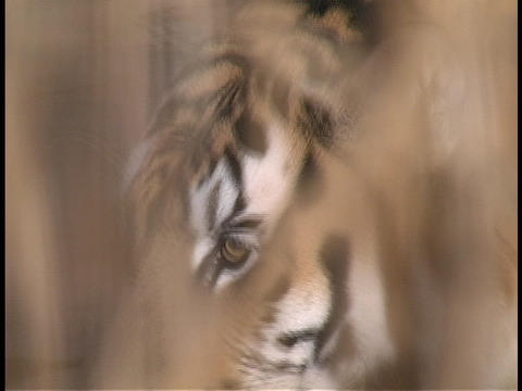 A tiger walks through the reeds Stock Video Footage