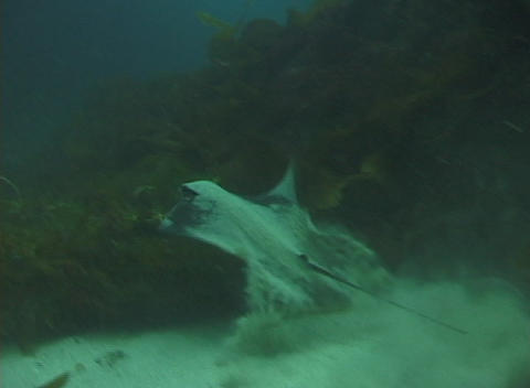 A manta ray swims underwater Footage