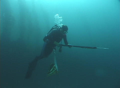 A diver with a spear gun swims underwater Footage