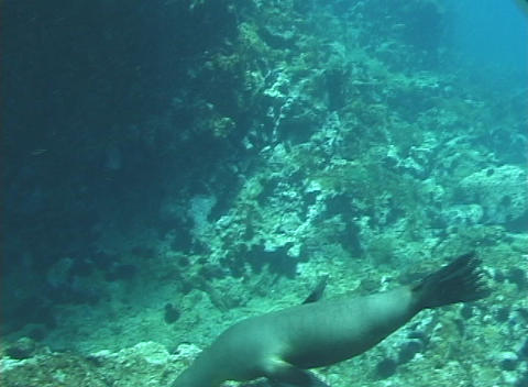 A seal swims playfully underwater Stock Video Footage