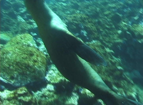 A seal swims playfully underwater Footage