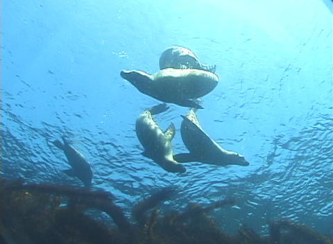 Seals dance and play near the surface of the water Footage