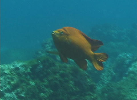A garibaldi fish swims slowly by Stock Video Footage