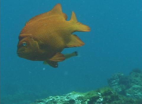 A garibaldi fish swims slowly by Stock Video Footage