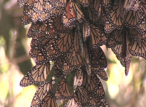Monarch butterflies hang from a tree branch Footage