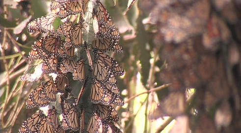 Monarch butterflies hang from a tree branch in a forest Stock Video Footage