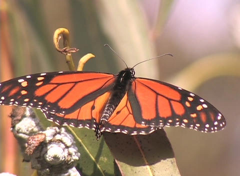A Monarch butterfly sits on a plant Footage