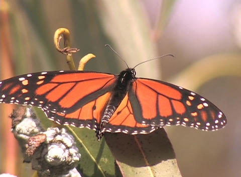 A Monarch butterfly sits on a plant Stock Video Footage