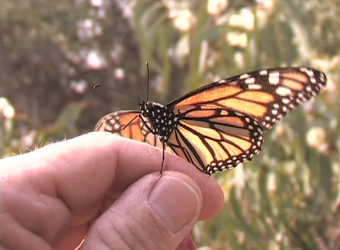 A monarch butterfly sits on a person's hand Stock Video Footage