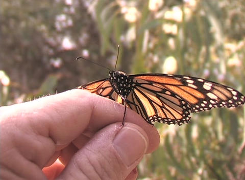 A monarch butterfly sits on a person's hand Footage