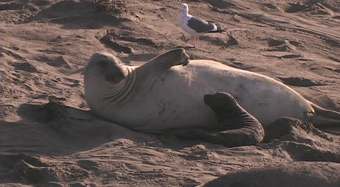 An elephant seal lies on the beach with its pup Stock Video Footage