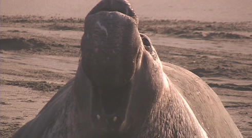 An elephant seal barks out a warning Footage
