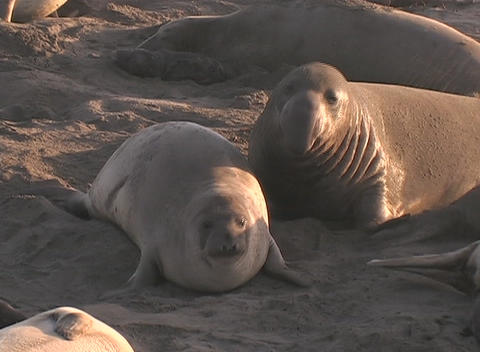 Elephant seals battle for territory on the beach Stock Video Footage