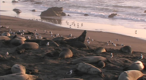 Elephant seals lounge on a scenic beach Stock Video Footage