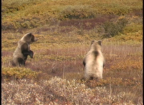 Grizzly bears stand on their hind legs Footage