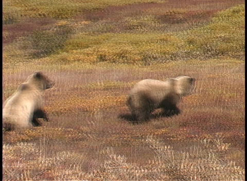 Grizzly bears stand on their hind legs Stock Video Footage