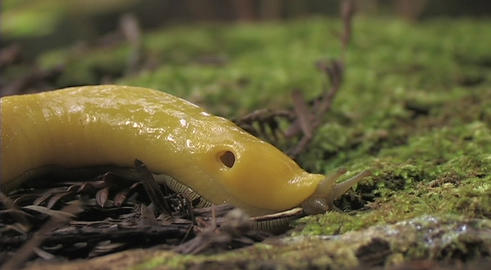 A banana slug crawls along the forest floor Stock Video Footage