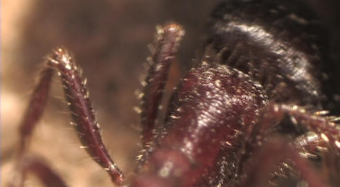 An extreme of an ant crawling Footage