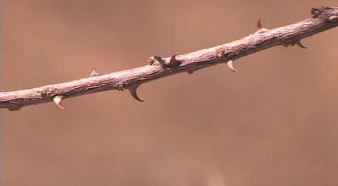 Pan across to an extreme of a stick insect crawling along... Stock Video Footage