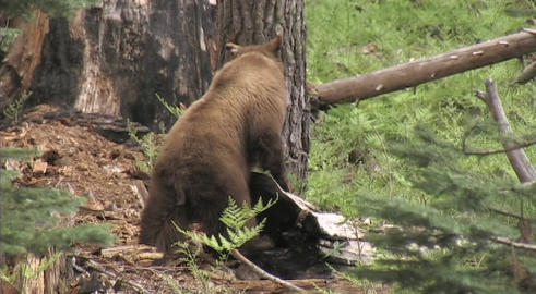 A mother bear leads her cubs through the forest Footage