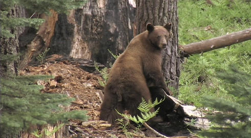 A mother bear leads her cubs through the forest Stock Video Footage