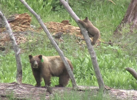 Cute bear cubs shimmy up and down tree branches while the mother watches Footage