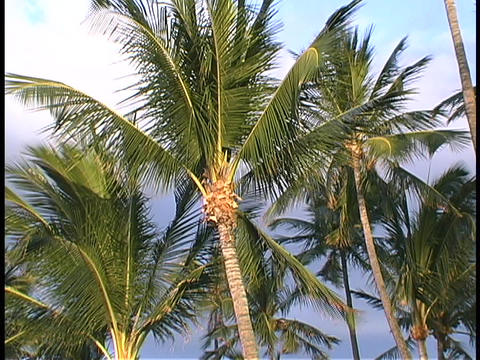 Hawaiian palm trees wave in the wind Stock Video Footage
